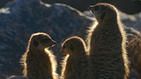 Die Erdmännchen im Tierpark Sababurg