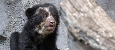 Nachwuchs bei den Brillenbären im Zoo Frankfurt