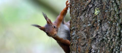 Eichhörnchen an einem Baum