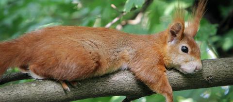Ein Eichhörnchen liegt an einem heißen Sommertag träge auf einem Ast
