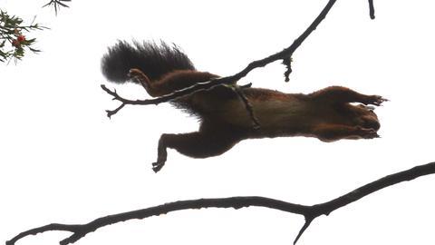 Eichhörnchen im Flug von Ast zu Ast