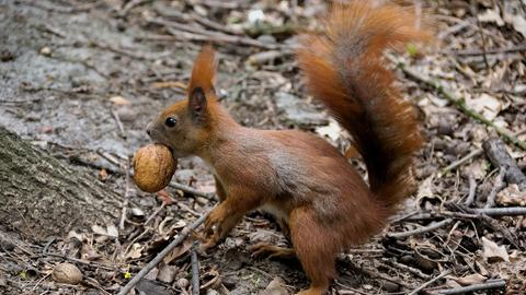 Eichhörnchen mit einer Walnuss im Maul
