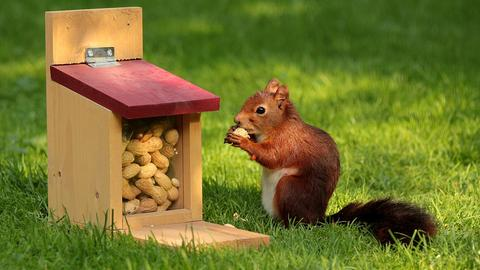 Eichhörnchen an einer speziellen Futterstelle mit Erdnüssen