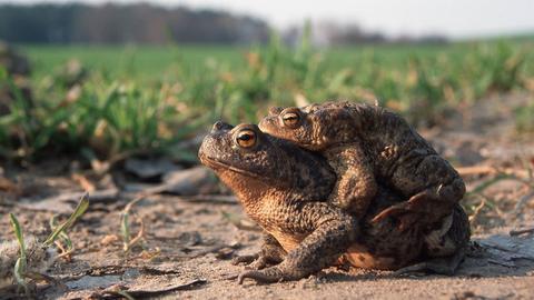 Erdkröten-Weibchen trägt ein Männchen auf dem Rücken