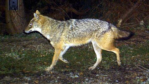Ein Goldschakal (Canis aureus) 2012 von einer Fotofalle im Bayerischen Wald fotografiert