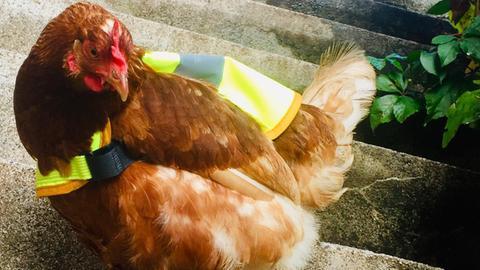 Huhn Henriette mit Warnweste