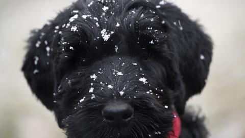 Hund mit Schneeflocken auf dem schwarzen Fell