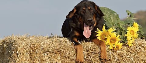 Hund liegt hechelnd auf einem Heuballen, neben ihm liegen Sonnenblumen