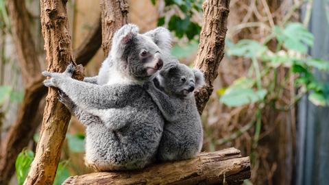 Koala-Weibchen mit Jungem