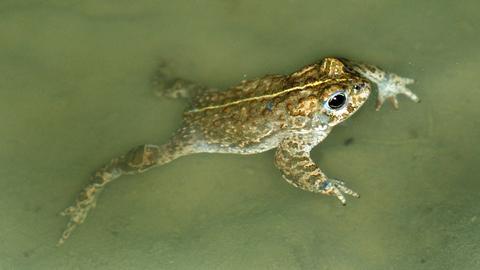Kreuzkröte schwimmt im Wasser