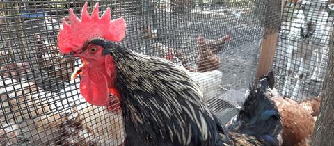 Martha Hahni auf den Hühnerhof Lüft