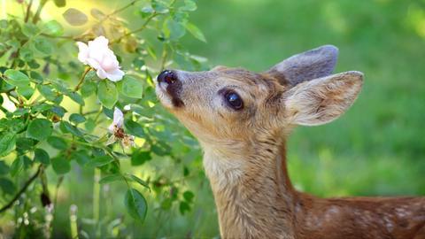 Rehkitz Bambi aus Niestetal