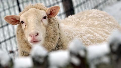 Ein mit Schnee bedecktes Schaf blickt in Oberbeisheim über einen Zaun.