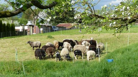Wandern mit Schafen