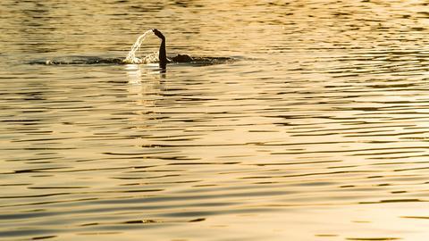 Rückenschwimmer im See