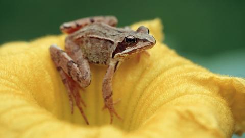 Springfrosch auf einer Blüte