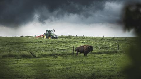 Bison auf der Weide, im Hintergrund ein Traktor