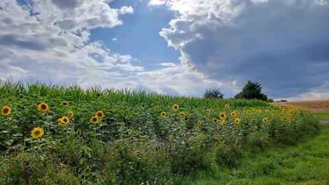 Sonnenblumen vor einem Feld
