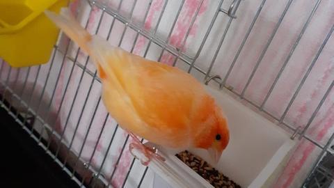 Kanarienvögel im Tierheim Gießen