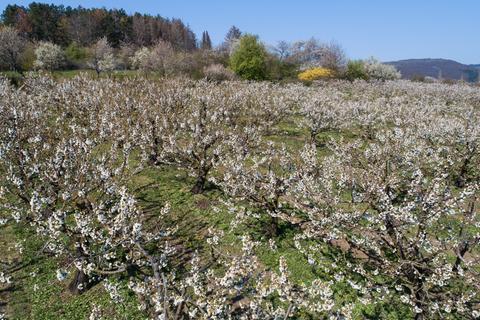 Kirschblüte im Werratal
