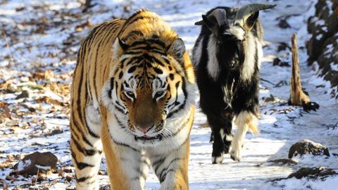 Tierfreundschaft: Tiger und Ziege