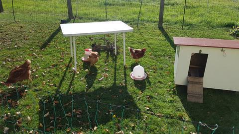 Die Hühner im Pferch