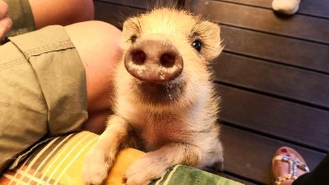Wildschwein Gordi