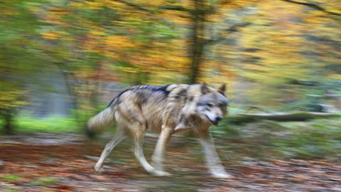 Wolf - Gehegeaufnahme im Tierpark Weilburg