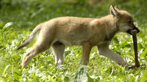 Ein Wolfswelpe mit einem erbeuteten Knochen.