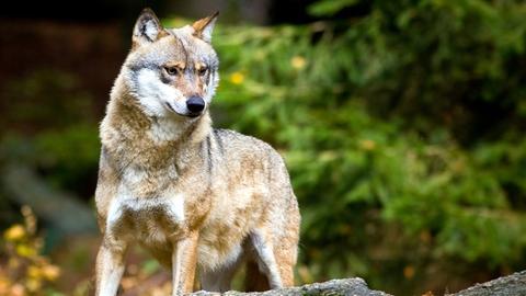 Ein Wolf (Canis lupus), aufgenommen im Tier-Freigelände im Nationalpark Bayerischer Wald bei Neuschönau.
