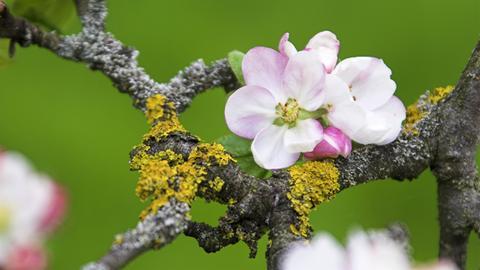 Flechten an einem Apfelbaum