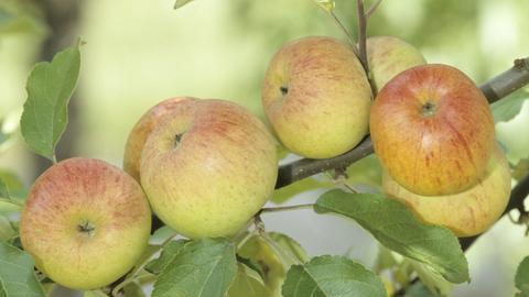 Apfel der Sorte Berlepsch