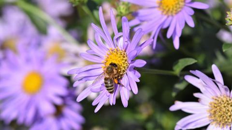 Eine Biene fliegt über Astern