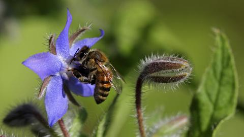 Eine Biene an einer Borretschblüte