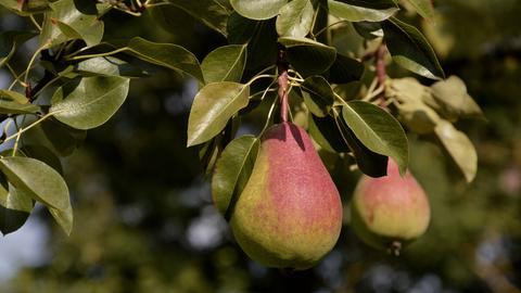 Birnen hängen am Baum