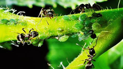 """Blattläuse von Ameisen """"betreut"""""""