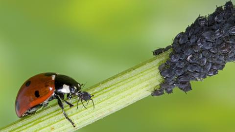 Marienkäfer frisst Blattlaus