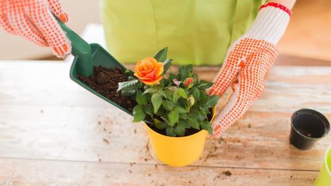 Einpflanzen einer Zimmerpflanze