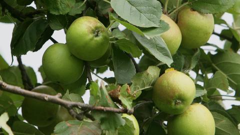 Apfel der Sorte Boskop