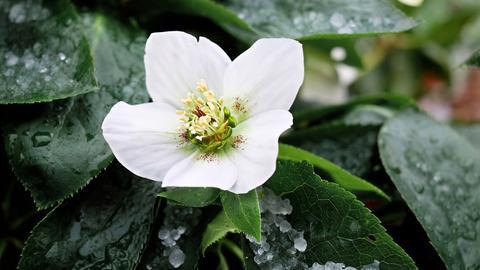 Blühende Christrose im Schnee