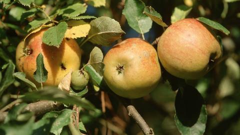 Apfel der Sorte Cox Orange