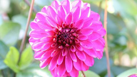 Blüte der Dahlie