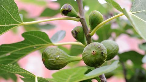 Exotische Früchte: Feige