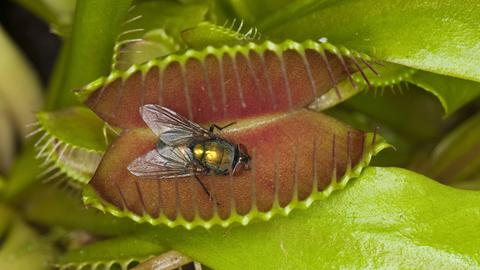 Fliege fleischfressende Pflanze