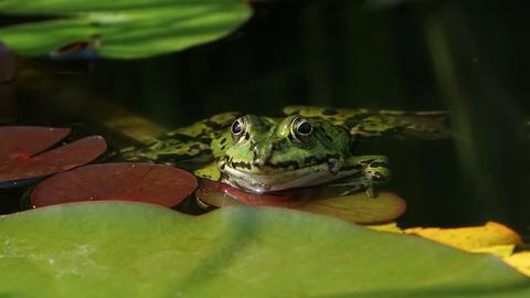 Ein Frosch im Gartenteich