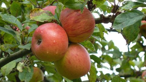Apfel der Sorte Goldparmäne