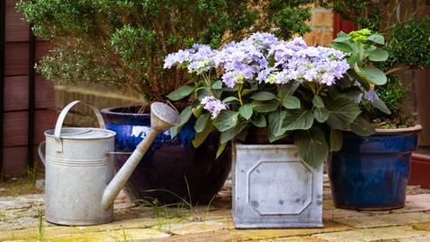 Eine Hortensie im Kübel