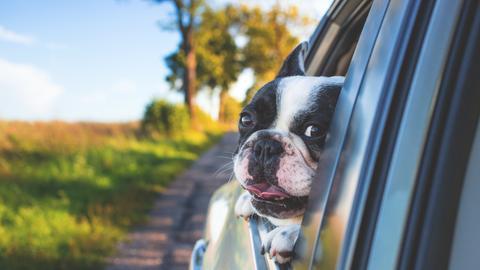 Hund schaut aus einem geöffneten Autofenster