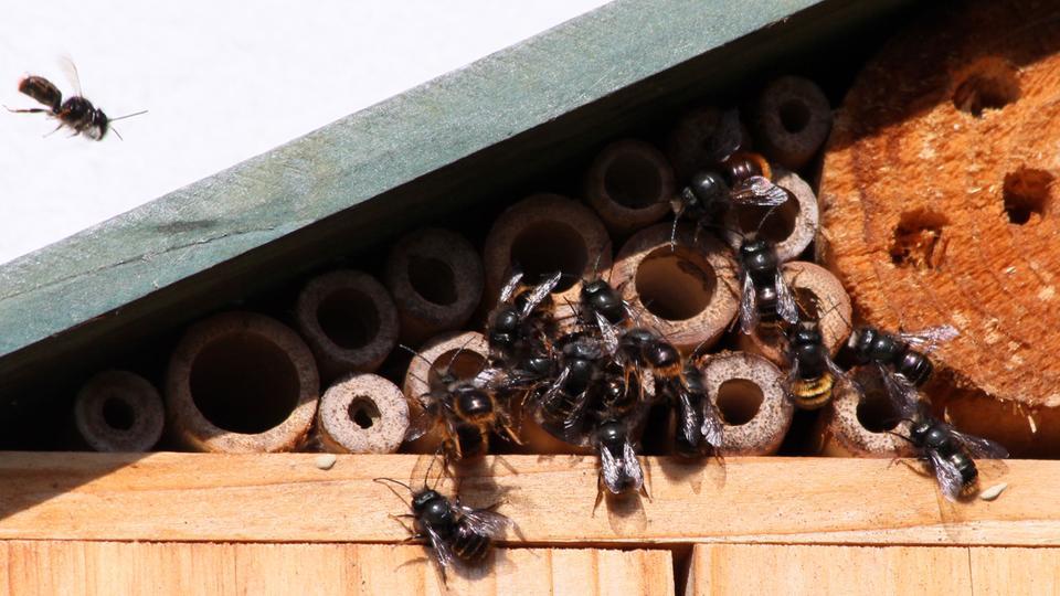 Wildbienen an einem Insektenhotel