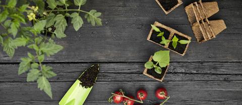 Die Schritte von Keimling zur Tomatenpflanze